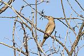Grey hypocolius (Hypocolius ampelinus) female on a branch in the inner desert, southern Oman
