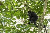 Mantled Howler Monkey (Alouatta palliata) male in a tree, Soberania National Park, Panama
