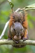 Variegated Squirrel (Sciurus variegatoides) holding the nut of a tree between its teeth, Soberania National Park, Panama