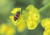 Checkered Beetle (Trichodes alvearius) on a spurge flower (Euphorbia sp) in Forcalquier, Alpes-de-Haute-Provence, France
