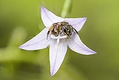 Bee (Apoidea) sleeping in the flower of a bellflower (Campanula sp) in Forcalquier, Alpes-de-Haute-Provence, France