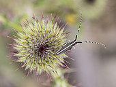 Agapanthie des chardons (Agapanthia cardui) ou A. suturalis) sur l'inflorescence d'un chardon (Carduus sp) à Auribeau, Vaucluse, France