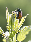 Leaf beetle (Lachnaia pubescens) on top of a grass in Sigonce, Alpes-de-Haute-Provence, France