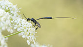 Parasitic wasp (Gasteruption sp) female gathering an umbelliferous flower in Sigonce, Alpes-de-Haute-Provence, France