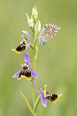 Lycaenid butterfly (Lycaenidae sp) on an Ophrys (Ophrys sp) in Forcalquier, Alpes-de-Haute-Provence, France