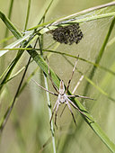 Nursery-web spider (Pisaura mirabilis) female near her brood in the grass at Forcalquier, Alpes-de-Haute-Provence, France