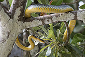 Amazon whipsnake (Chironius carinatus) hunting in a tree in Rio Balaio near Parintins, Brazilian Amazonia