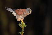 Kestrel (Falco tinnunculus) Male perched on top of a pine tree, England, Winter