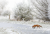 Red fox (Vulpes vulpes) walking on iced water, England