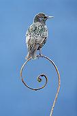 Starling (Sturnus vulagaris) perched on a steel question mark, England