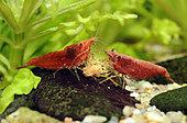 Neocaridina heteropoda 'Sakura' eating pellet in freshwater aquarium