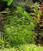 Myriophyllum mattogrossense, Pogostemon helferi in aquarium