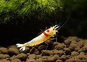Crystal red shrimp (Caridina logemanni)