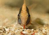 Arched corydoras (Corydoras arcuatus) eating à Bloodworm