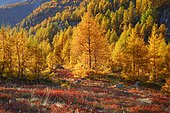 Larch forest and blueberry bushes, Valais, Switzerland, Europe
