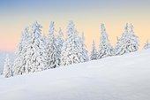 Snowy fir trees, Switzerland, Europe