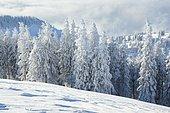 Snowy spruce forest, Switzerland, Europe