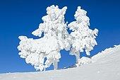 Snowy spruces, Switzerland, Europe