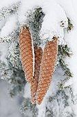 Fir cone with hoarfrost, Switzerland, Europe