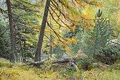 Coniferous forest in autumn, Switzerland, Europe