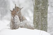 Lynx, Eurasian lynx, Eurasian lynx (Lynx lynx), European Lynx, in winter, Bavarian Forest National Park, Germany, Europe