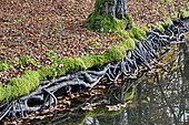 Roots along the pond in autumn with dead leaves, Doubs, France