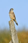 Krestel (Falcon tinnunculus)on a post in grassland, Doubs, France
