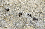 Chamois des Alpes (Rupicapra rupicapra) in quarry in operation, Mathay, Doubs, France