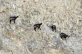 Chamois des Alpes (Rupicapra rupicapra) dans une carrière en exploitation, Mathay, Doubs France