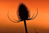 Teasel (Dipsacus sp) at sunset, Doubs, France