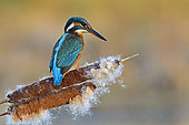European Kingfisher (Alcedo atthis) perched on a seeded reed, Doubs, France