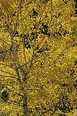 European white birch (Betula pendula) in autumn, Haute Ubaye, Alpes de Haute Provence, France