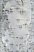 Birch bark (Betula pendula), Haute Ubaye, Alpes de Haute Provence, France