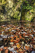 Autumn leaves on the surface of a forest fountain. Leaves still dry float for a while before finally sinking and decomposing, Jura, France