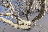 Trees after a snowstorm, Massif du Grand Colombier, South Jura, France