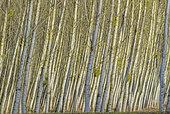 Poplar grove in winter, Black poplar (Populus nigra), Chautagne (largest poplar grove in Europe with 740 ha), Savoy, France