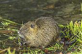 Coypu (Myocastor coypus), young individual near the Rhône, Haute Savoie, France