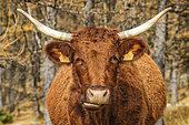 Young cow of the Salers breed, in the Ubaye valley, characteristic curly red coat, Alpes de Haute Provence, France