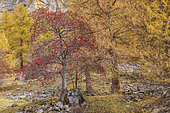 Mountain ash (Sorbus aucuparia) in Haute Ubaye, Alpes de Haute Provence, France