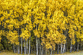 Grove of aspen (Populus tremula) in autumn. Aspen poplar, common in the Southern Alps where it forms many groves remarkable in autumn for their spectacular yellow-orange color, Haute Ubaye, Alpes de Haute Provence, France