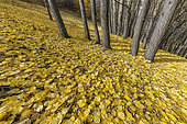 Carpet of aspen leaves in autumn. Aspen poplar (Populus tremula), common in the Southern Alps where it forms many groves remarkable in autumn by their spectacular yellow-orange color, Haute Ubaye, Alpes de Haute Provence, France