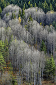 Groves of Aspen (Populus tremula) denuded at the end of autumn. Haute Ubaye, Alpes de Haute Provence, France