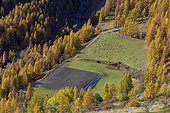 Sheep in Haute Ubaye in autumn. The sheep are brought down from their mountain pastures in the hamlet of Le Serre, under the Vars pass, Alpes de Haute Provence, France.