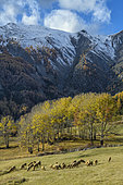 Sheep in Haute Ubaye in autumn. The sheep are brought down from their mountain pastures in the hamlet of Saint Ours, in the Val d'Oronaye, Haute Ubaye, Alpes de Haute Provence, France.