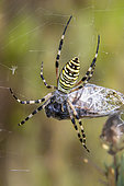 Wasp spider (Argiope bruennichi) with a cicada caught in its canvas in summer, Plaine des Maures, near Les Mayons, France