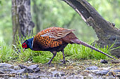 Rfing-necked pheasant (Phasianus colchicus) on the ground in a grove in spring, Danube Delta, Romania