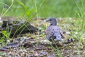 Turtle Dove (Streptopelia turtur) on the ground in a grove in spring, Danube Delta, Romania