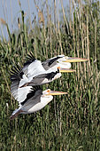 White Pelican (Pelecanus onocrotalus) small group flying over a reedbed in spring, Danube Delta, Romania