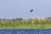 White-tailed Eagle (Haliaeetus albicilla) flying over a reedbed in spring, Danube Delta, Romania