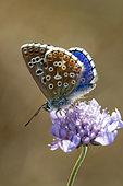 Common Blue (Polyommatus icarus) on Scabieusa flower, Limestone Lawn near Jaillon, Lorraine, France